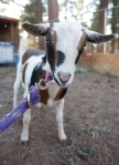 Elfie, a Nigerian Dwarf goat, is one of many animals in the Star Spangled Acres Petting Zoo at the Flagstaff Pro Rodeo.