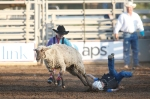 A young participant takes a spill during the mutton busting competition at the Flagstaff Pro Rodeo Thursday evening.