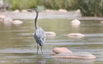 A Great Blue Heron stands in a shallow pool along the Verde River near Clarkdale, Ariz. Friday afternoon.