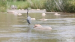 A great blue heron stands in a shallow pool along the Verde River near Clarkdale. The river's riparian zone supports about two-thirds of all species diversity in Arizona.