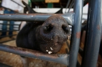 A show pig sticks it's snout through a pen at a 4-H Club barn at the Coconino County Fair Friday.
